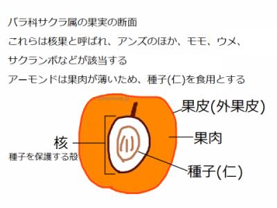 核果の断面図
