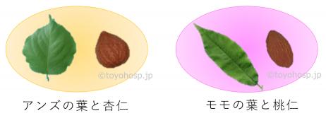 杏仁と桃仁2